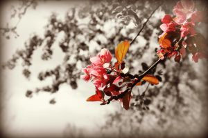 Think Spring - Crab Apple Blossoms by AndehDulac