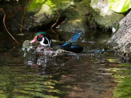 Wood Duck by Blueeyes0001