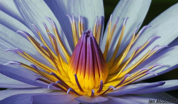 Lotus close up . by 999999999a