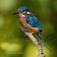 a bit on the side - Kingfisher and Migrant Hawker by Jamie-MacArthur
