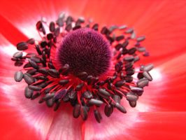 Red Flower by DanikaMilles