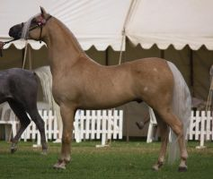 STOCK - TotR Arabians 2013-24 by fillyrox