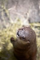 Curious Otter by PhotoAlterations