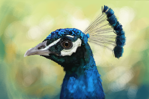 Peacock by Nati789
