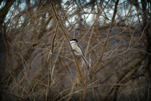 Black-capped Chickadee by xDx