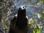 Wedge-Tailed Eagle by smile-iMight2