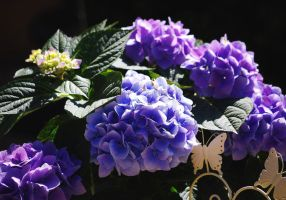 Hortensia Blue by Michawolf13