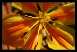Tiger Lily by photographicsam