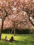 Reading under Cherry Blossoms by Salu-chan