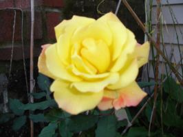 Yellow Pinkish Rose by MarinaMoon