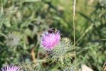 Bee on a thistle 2 by 003145