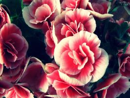 Begonias by Zitaxstern