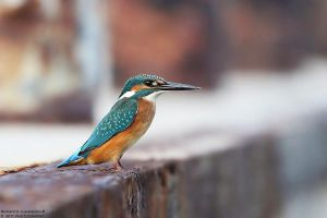 Alcedo atthis - Kingfisher by RichardConstantinoff
