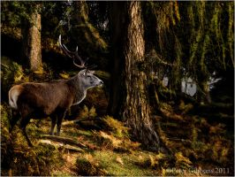 Stalking the Stag by Photo-Joker