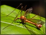 Crane Fly 50D0000282 by Cristian-M