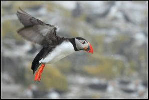 The Basejumping Puffin by nitsch