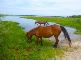 Assateague ponies II by snaphappy101