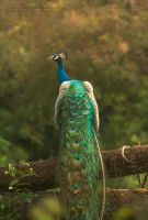 Peacock 1 by farcry77