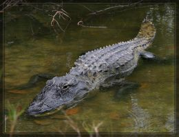 American Alligator 20D0048922 by Cristian-M