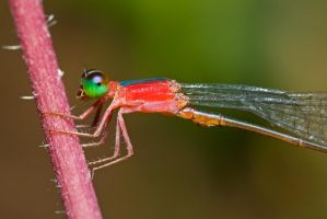 Red Damselfly by melvynyeo