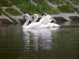 Swans by Irkis