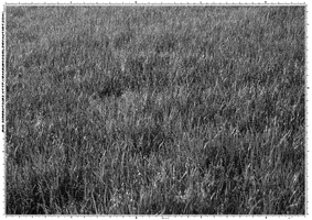 Screentone Grass 1 by bakenekogirl