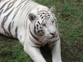White tiger3 by ICEKING4