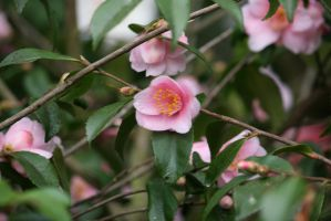 view to little rose camellias by ingeline-art