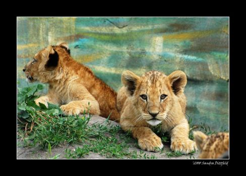 Baby lions 2 by grugster