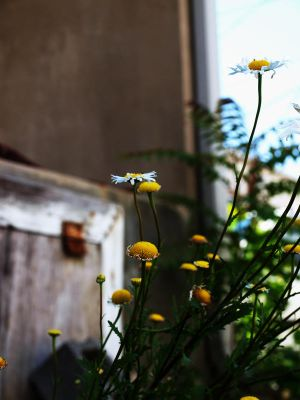 Pushing Up Daisies by plumcider