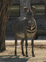 Grevy's Zebra 04 by animalphotos