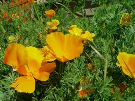 California poppies by Prism-of-colors