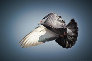 London Pigeon by Aquamancer