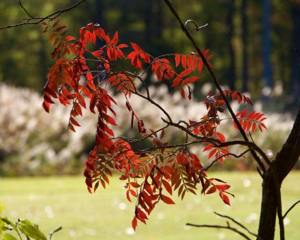 Red Leaves by wally626