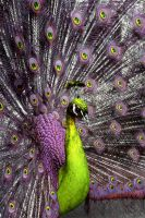 Peacock Tweaked 02 by andras120