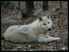 arctic wolf: say hello by morho