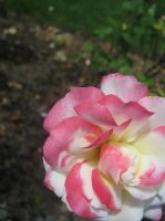 White and Pink Rose by Sing-Down-The-Moon