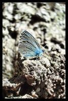 Silver-studded Blue by WillowDana