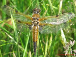 Four-spotted Chaser by Terrydunk