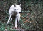 The Magikal White Wolf by Estruda