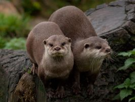 Asian small clawed otters by Graid