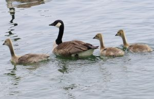 Geese and goslings by Sky-In-The-Sea
