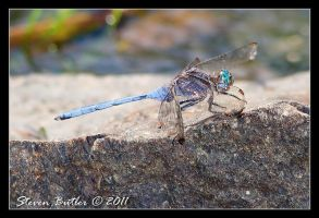 Dragonfly -  Julia Skimmer by lasfe2g