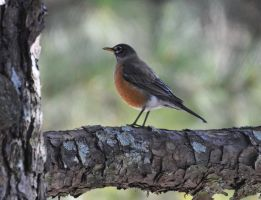 Robin 1-15-11 by Tailgun2009