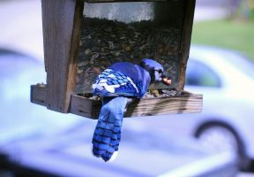 Greedy Bluejay by sgt-slaughter