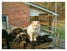 White Kitty - King Of The Wood Pile by TheMan268