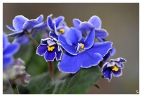 my african violet by grandma-S