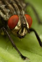 Large Fly - close up by Alliec