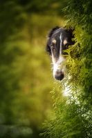 Borzoi in Secret Garden by DeingeL-Dog-Stock