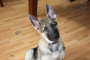 Titan - German Shepherd puppy by elvaniel